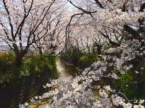 約1kmも続く桜並木
