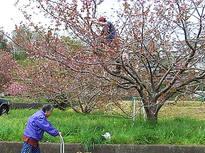 秦野の八重桜摘み