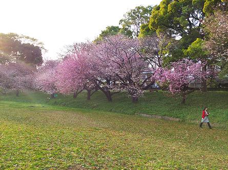 八重桜のお花見は東大グラウンドで