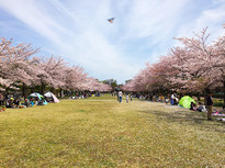 満開の桜を芝生で楽しめる宝野公園