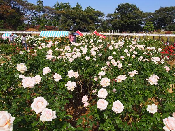 生田緑地ばら苑 秋の一般開放の画像