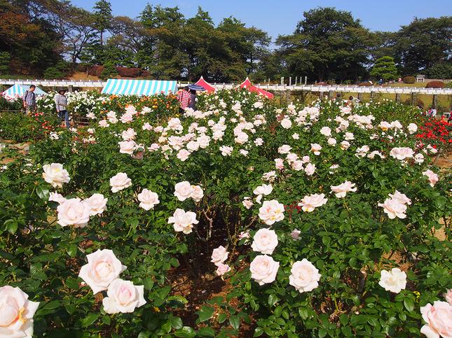生田緑地ばら苑 秋の一般開放