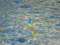 青く美しいカワセミ