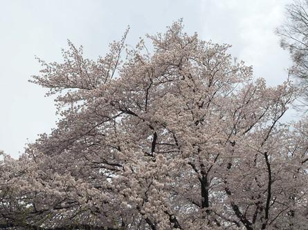 春は桜が満開 松が枝公園