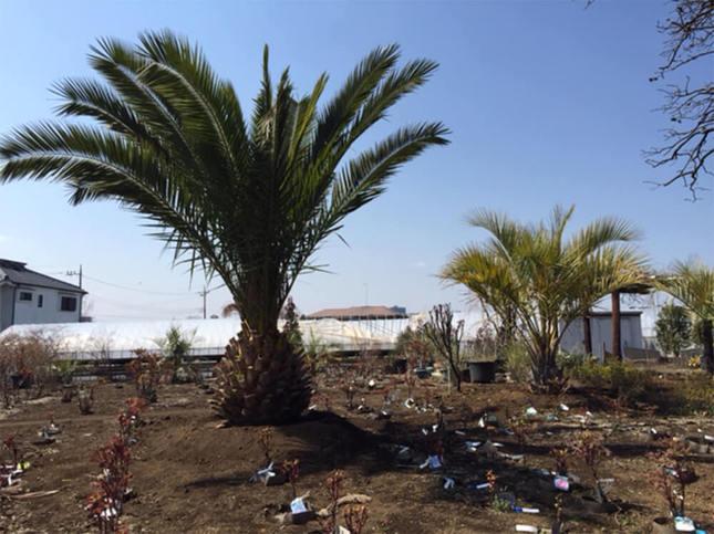 植木生産直売の横田園で春の植木と花大即売会