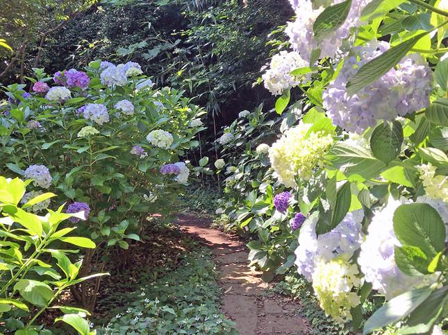 色とりどりの紫陽花が左右に咲いている山の中の小道