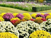 1000株の「ざる菊」が公園を彩る