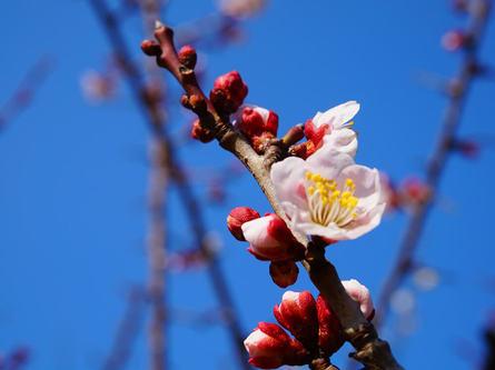 一足早い春の訪れ。梅の名所、羽根木公園