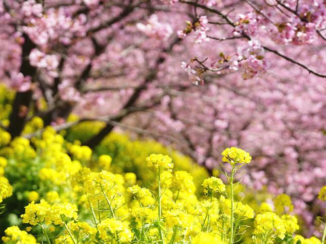 河津桜のアーチ!松田山西平畑公園