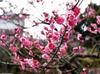 趣を感じる梅の名所、小田原梅まつりの画像