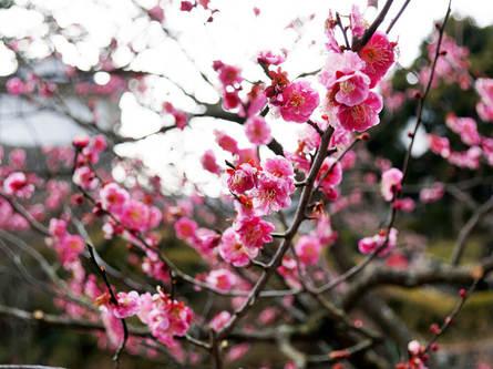 趣を感じる梅の名所、小田原梅まつり