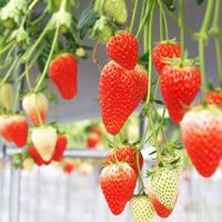 4品種のイチゴの食べ比べができる!(渋沢)