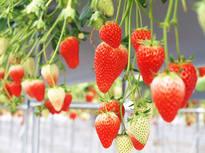 4品種のイチゴの食べ比べができる!