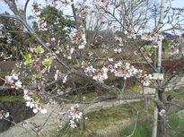 6種類の桜リレー 秦野の新名所
