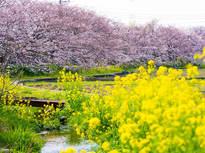 春の小川でのんびりお花見の画像