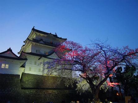 小田原城桜ライトアップ