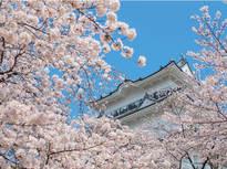 純白に満開の桜をまとった小田原城は圧巻