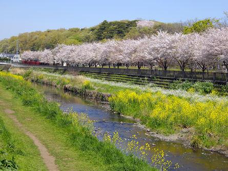 桜並木がずらりと並んだ、川沿いの遊歩道