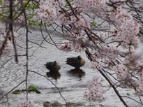 桜の季節、今年も出逢えた鴨の仲良しカップル