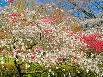 1本の木に三色の花が咲く源平桃