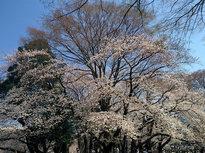 桜が散った後の楽しみ