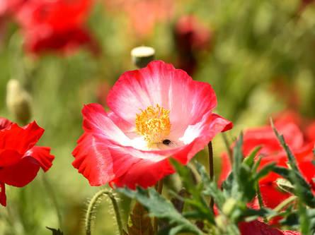 真っ赤な絨毯が広がる飯山花の里のポピー畑