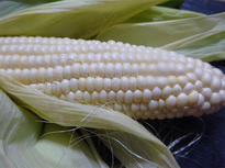 暑い夏の季節に育った真っ白なトウモロコシ