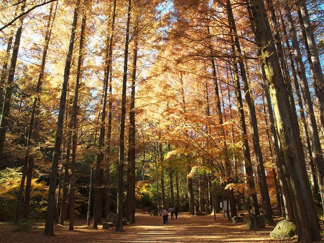 自然林の輝く紅葉