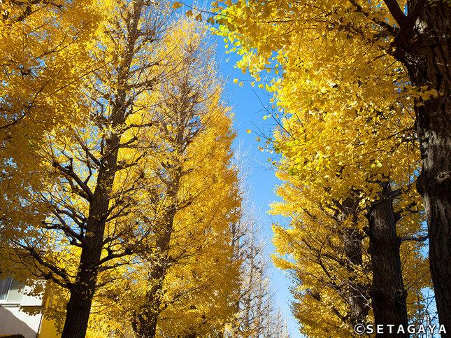 地域に守り育てられた美しいいちょう並木
