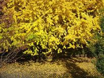 鮮やかなイチョウが綺麗なこもれび自然林(松谷戸公園)