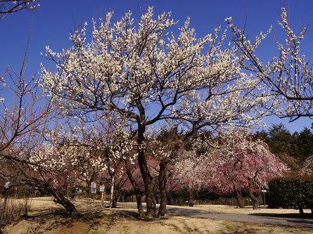 早咲きから遅咲きまで、好きなときに梅を楽しめる
