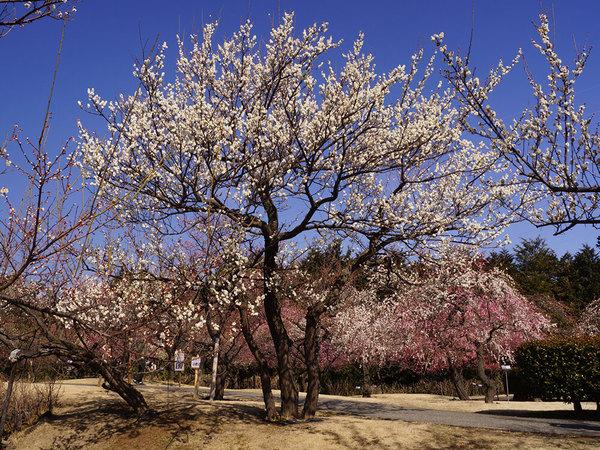 早咲きから遅咲きまで、好きなときに梅を楽しめるの画像