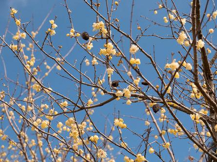甘い香りが漂うロウバイの花がかわいい!