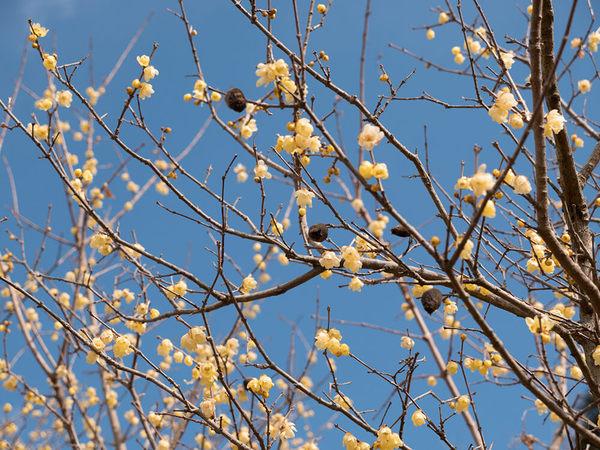 甘い香りが漂うロウバイの花がかわいい!の画像