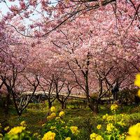 一足早く春の訪れを!~まつだ桜まつり~(新松田)