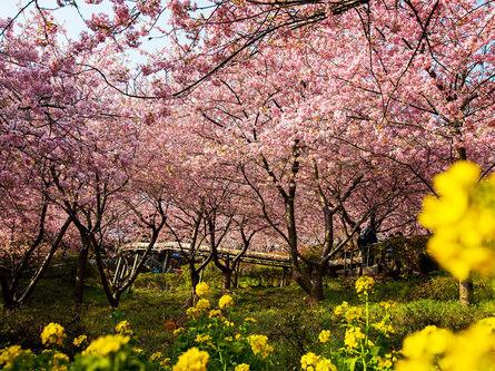 一足早く春の訪れを!~まつだ桜まつり~