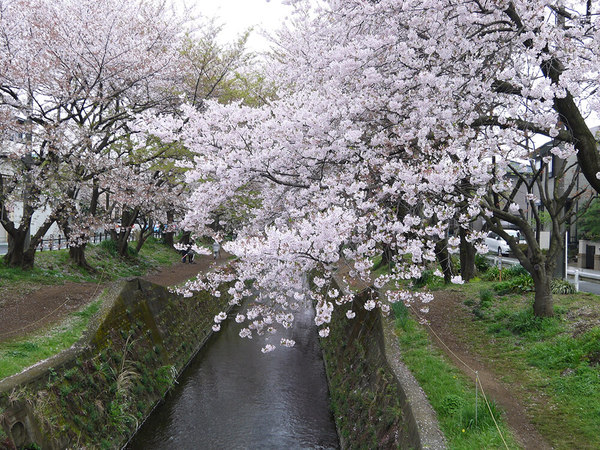 川べりの「千本桜」をゆっくり散策