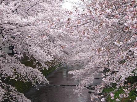 年に一度の美しい桜の舞い(桜まつりのご案内)