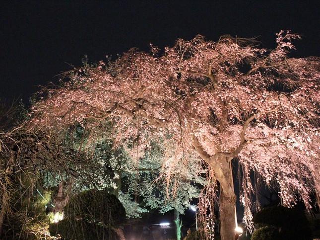境内で幻想的な夜桜を楽しむ