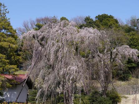 滝のように流れる巨大なしだれ桜
