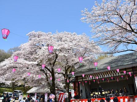 桜トンネルが圧巻!あつぎ飯山桜まつり