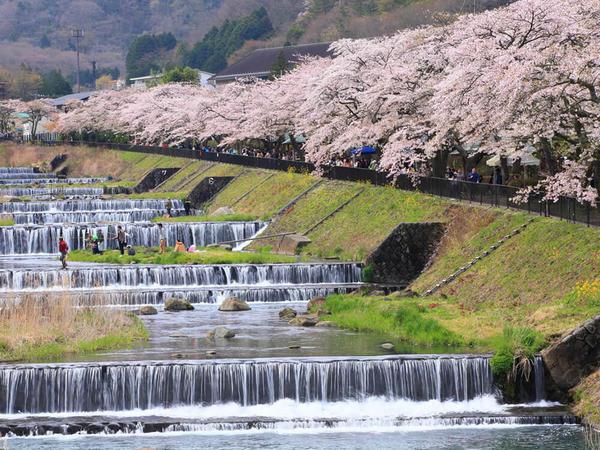 箱根で楽しめる非日常なお花見の画像