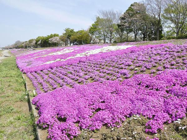 「日本一の長さ」を誇る芝ざくらライン