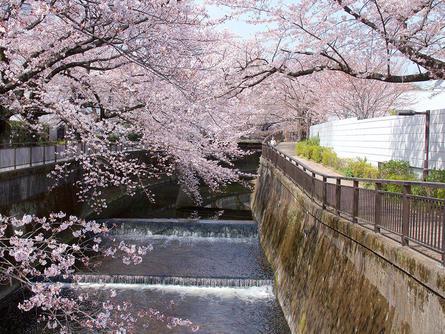 川沿いに咲き誇る「東宝スタジオの桜」