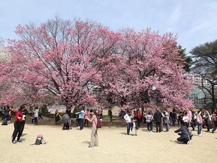 4月中旬まで楽しめる!新宿御苑の桜