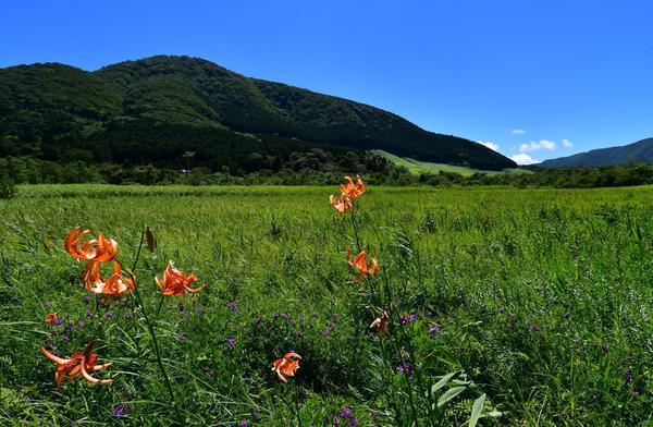湿原を彩るコオニユリを見に行こう!の画像