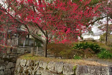 春を先取り! 小田原城で梅散歩