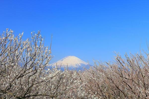 早春の風物詩「小田原梅まつり」