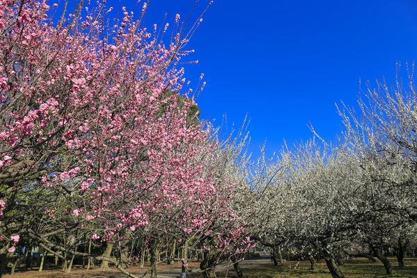 桜で有名な砧公園では、実は梅も楽しめる