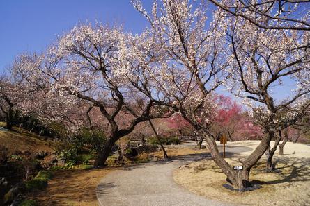 小田原フラワーガーデンの梅まつり